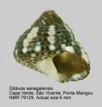 Gibbula senegalensis