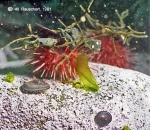 Sterechinus neumayeri