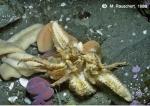 Diplasterias brucei eats Glyptonotus antarcticus 2.