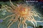 Labidiaster annulatus