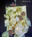 Molgula pedunculata on an artificial substratum.