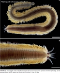 Polychaeta (bristle worms)