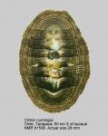 Chiton (Chiton) cumingsii