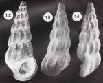 Palaeorissoina acuminata Gründel, 1999