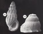 Palaeorissoina obliquata (Sowerby, 1829)