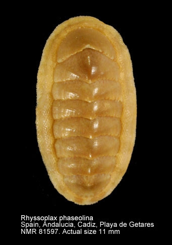 Chiton phaseolinus