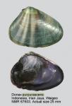 Donax purpurascens