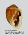 Cassidula angulifera