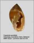 Cassidula aurisfelis