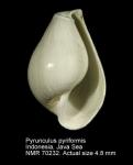 Pyrunculus pyriformis