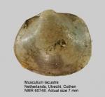 Musculium lacustre