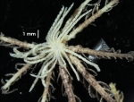 Antedon incommoda incommoda TYPE BMNH 84.11.12.6_specimen1