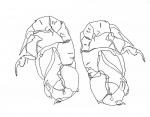 Pseudodiaptomus siamensis male P5