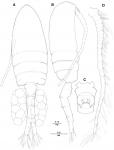 Pseudodiaptomus koreanus  female