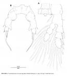 Pseudodiaptomus koreanus  female p5