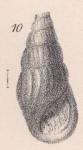 Rissoina milleri Lycett, 1863