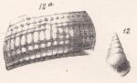 Rissoina cancellata Morris & Lycett, 1850