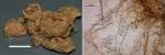 Mycale (Carmia) guineensis