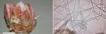 Mycale (Naviculina) cruzi