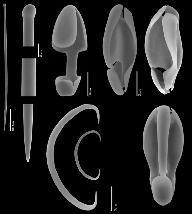 Mycale (Naviculina) cruzi SEM
