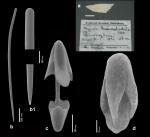 Mycale thaumatochela