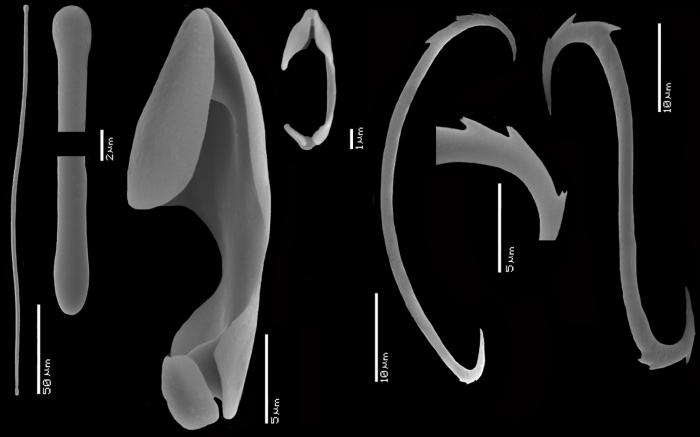 Mycale (Paresperella) janvermeuleni SEM