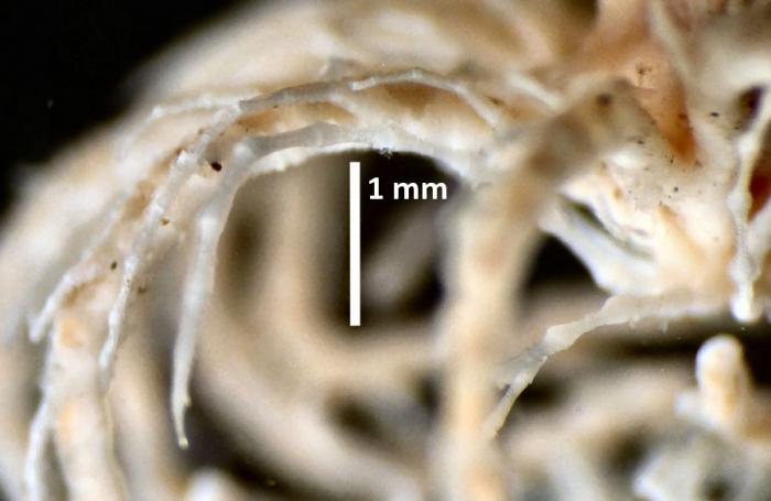 Compsometra (=Antedon) longicirra SYNTYPE USNM E449 spec 2 cirrus
