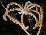 Compsometra (=Antedon) longicirra SYNTYPE USNM E449 whole aboral view