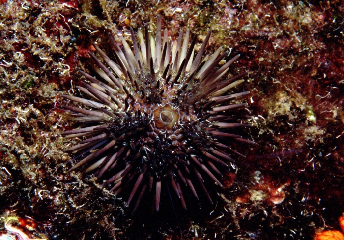 Arbacia lixula (Madeira)