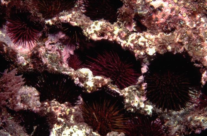 Paracentrotus lividus (Azores)