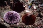 Sphaerechinus granularis & Paracentrotus lividus (Azores)