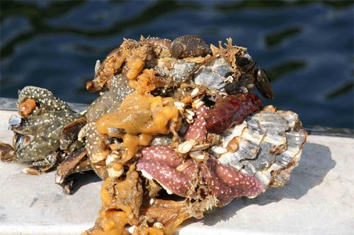 Tunicate Didemnum vexillum