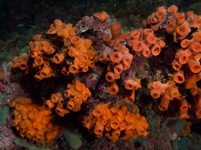 Tubastrea coccinea