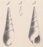 Melania florentinae Briart & Cornet, 1873