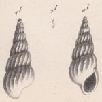 Melania exornata Briart & Cornet, 1873
