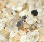 Chersodromia squamata