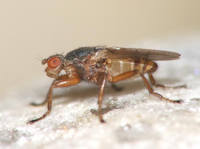 Malacomyia sciomyzina