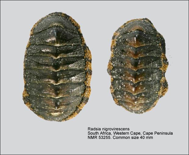 Radsia nigrovirescens