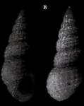 Rissoina redferni Espinosa & Ortea, 2002