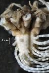 Balanometra balanoides Holotype BMNH 88.11.9.64