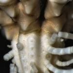 Balanometra balanoides Holotype BMNH 88.11.9.64 Centrodorsal and division series close-up