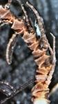 Dorometra andromacha Holotype Leiden 1828 proximal pinnules