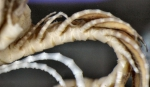 Dorometra parvicirra Holotype BMNH 88.11.9.62 proximal pinnules2