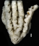 Eometra weddelli Cotype BMNH 1939.5.13.2-4 specimen1 entire
