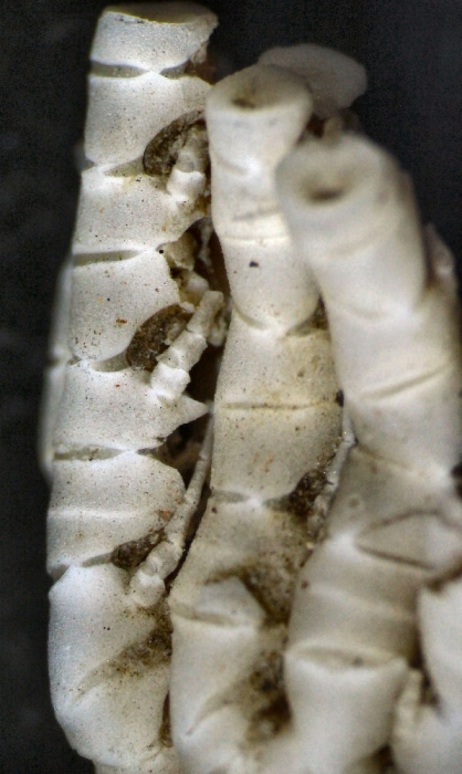 Eometra weddelli Cotype BMNH 1939.5.13.2-4 specimen1 proximal pinnules