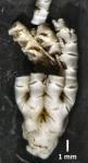 Eometra weddelli Cotype BMNH 1939.5.13.2-4 specimen3 entire