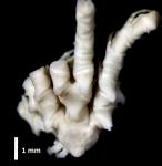 Erythrometra rostrata Paratype BMNH 1967.4.4.81 entire