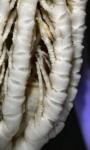 Eumorphometra aurora Holotype BMNH 1938.12.7.109 proximal pinnules1