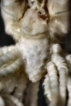 Eumorphometra fraseri Holotype BMNH 1938.12.7.110 centrodorsal
