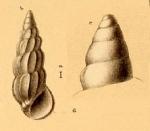 Schwartziella ephamilla (Watson, 1886)